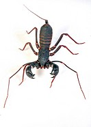 Whip scorpion, thelyphonus sp