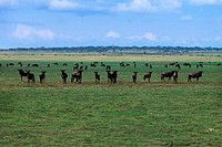 TANZANIA, SERENGETI, PLAIN WITH MIGRATING WILDEBEESTE