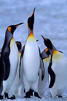 SOUTH GEORGIA ISLAND, ST. ANDREWS BAY, KING PENGUINS ON SNOW