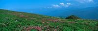 Filipendula Multijuga, Maibara, Shiga, Japan