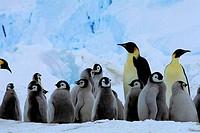 ANTARCTICA, RIISER_LARSEN ICE SHELF, EMPEROR PENGUIN COLONY, CHICKS FORMING CRECHE