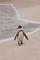 African Penguin (Spheniscus demersus), Boulders Beach, Table Mountain National Park, False Bay, South Africa