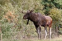 Moose  Male  Alces alces  Order : Artiodactyla  Family : Cervidae.
