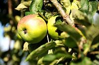 Green apples on an apple tree
