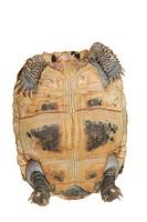 pet turtle elongata Elongated tortoise