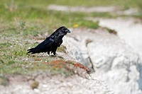 Common Raven Corvus corax adult, standing on chalk cliffs, Dover, Kent, England, may