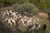 Domestic Sheep, flock, grazing and browsing in olive grove, near Yeste, Sierra de Segura Mountains, Castilla la Mancha, Spain, january