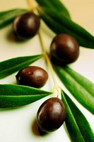 Black olives with leaves on branch