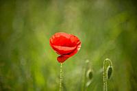 A red poppy flower