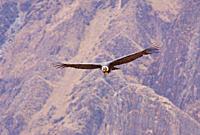 Andean Condor in flight, Vultur gryphus, Colca Canyon, Andes, Peru, South America, Andenkondor im Flug