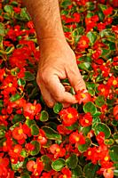 Edible flowers Begonia semperflorens for salads  Balaguer Lleida, Catalonia, Spain
