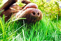 Brown Labrador Retriever rolling in the grass, Sweden