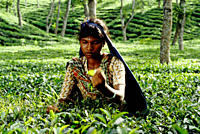 Tea is a major industry in Bangladesh and grows in the low hills of Chittagong and Sylhet The tea plantation workers in Sylhet are mostly of the indeg...
