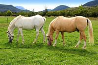 white horses meadow prairie grassland in Pyrenees Spain