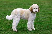 Standard poodle Canis lupus familiaris in garden