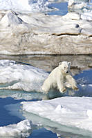 A young polar bear Ursus maritimus leaping from ice floe to ice floe on multi_year ice floes in the Barents Sea off the eastern coast of Edgeÿya Edge ...