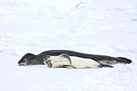 A mother and newborn pup leopard seal Hydrurga leptonyx hauled out on ice floes on the western side of the Antarctic peninsula, southern ocean This is...