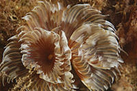 Feather Duster Worm Species unknown Babbacombe, Torquay, South Devon, UK RR
