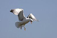 Lesser blackbacked gull Larus fuscus UK