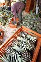 Pineapple production, Togo, West Africa, Africa