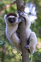 Verreaux´s Sifaka Propithecus verreauxi, Berenty Private Reserve, Madagascar, Africa