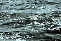 Sabines gull flying Xema sabini Galapagos Islands, Ecuador