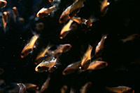 Male red_tailed triggerfish Xanthichthys mento Roca Redonda Islet, Galapagos Ecuador