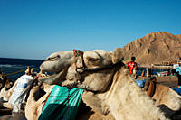 Camel smiling as he waits in the early morning sun with diving equipment on his back Dahab South Sinai Egypt