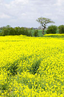 Oilseed rape growing in a field in Cheshire UK The rush to grow crops for biofuels is pushing up food prices and in some cases is just as carbon inten...