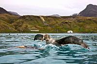 Southern Giant Petrel Macronectes giganteus and Northern Giant Petrel Macronectes halli tearing apart an Antarctic fur seal pup in the water at Grytvi...