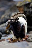 Feral Goat Capra hircus eating seaweed on carsaig beach on Mull Argyll and the Islands, Scotland, UK