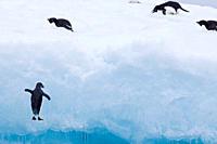 Adelie penguin Pygoscelis adeliae near the Antarctic Peninsula, Antarctica The Ad»lie Penguin is a type of penguin common along the entire Antarctic c...