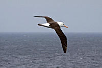 Adult Black_browed albatross Thalassarche melanophrys on the wing in the Falkland Islands, South Atlantic Ocean The Black_browed Albatross is a large ...