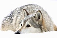 Gray Wolf Timber Wolf  Canis lupus . Male, captive. Originally found throughout most of North America except western California and the Southeast. Los...