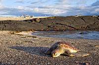Young green sea turtle Chelonia mydas agassizii hauled out on the beach in the waters surrounding the Galapagos Island Archipeligo, Ecuador Pacific Oc...