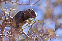 San Esteban spiny_tailed iguana Ctenosaura conspicuosa, an endemic iguana found only on Isla San Esteban in the Gulf of California Sea of Cortez, Mexi...