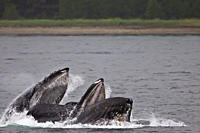 Adult humpback whales Megaptera novaeangliae co_operatively ´bubble_net´ feeding along the west side of Chatham Strait in Southeast Alaska, USA Pacifi...