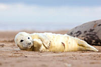 Grey Seal Halichoerus grypus young pup in white lanugo coat, umbilical cord visible November Donna Nook, Lincolnshire, UK
