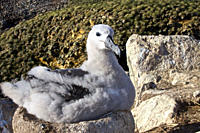 Black_browed albatross Thalassarche melanophrys chick on nest at breeding colony on New Island in the Falkland Islands, Southern Atlantic Ocean The Bl...