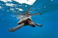 Green sea turtle Chelonia mydas at cleaning station at Olowalu Reef on the west side of the island of Maui, Hawaii, USA MORE INFO The range of this sp...