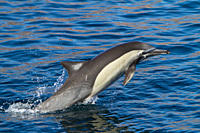 Long_beaked common dolphin pod Delphinus capensis encountered off Isla del Carmen within the Parque Nacional Bahia de Loreto Loreto Bay National Park ...