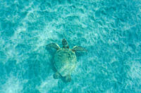 Green sea turtle Chelonia mydas off Olowalu Reef on the west side of the island of Maui, Hawaii, USA