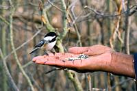 Man handfeeding Black_capped Chickadee Poecile atricapillus, Ayr, Ontario, Canada