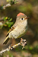Ruby_crowned Kinglet Regulus calendula perched on a branch