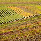 vineyards in Velke Bilovice region, Czech Republic