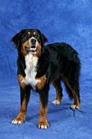 Bernese, Mountain, Dog