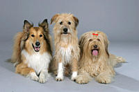 Mixed, Breed, Dogs, and, Collie