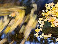 Leaves of poplar and maple in motion in a stream - El Villar de Álava - Araba - Euskadi
