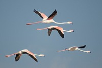 Greater Flamingoes (Phoenicopterus ruber)