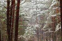Snowstorm, Orea Forest, Parque Natural del Alto Tajo, Guadalajara province, Spain.